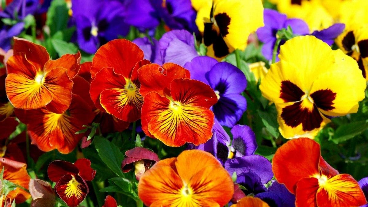amor-perfeito-gigante-suico-liso-mix-sementes-flor-pra-mudas-7857-mlb5289710870_102013-f