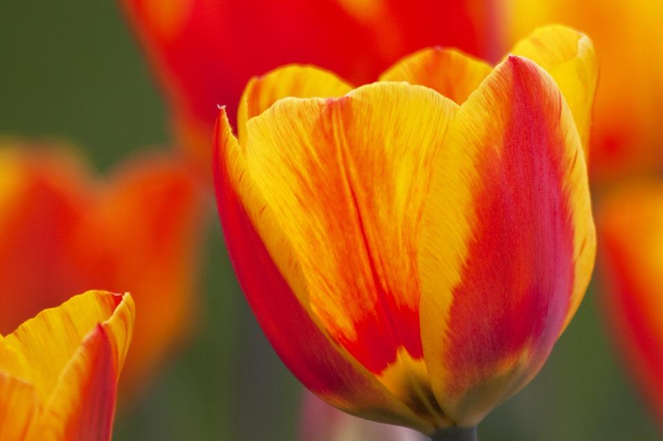 tulip-74459_960_720